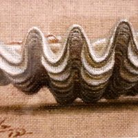tridacna-Cea